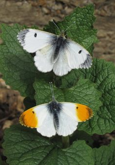 Orange tip butterflies.  Make have orange on the upper side of their wings. Male and female orange tip butterflies, (Anthocaris cardamines), Auroraperhonen  The top of the wings are so different from the bottom