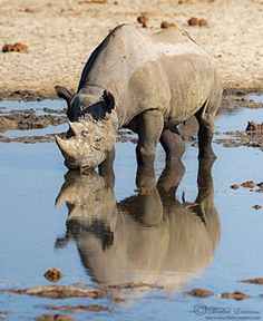 Brilliant Wildlife photographer Morkel Erasmus Posted Image of Black Rhino On community(website) of wildlife photographer. Click the link to view in full mode http://photos.wildfact.com/image/165/black-rhino-mirror