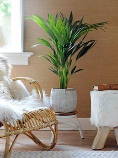 Kentia palm binnen