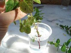 Comment faire des boutures de menthe - 1 mois plus tard racines