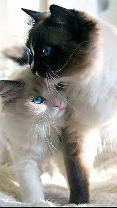 Great Pictures siamese cats ragdoll Style Siamese kittens and cats are the best renowned for their streamlined, streamlined body, rich and creamy layer I Love Cats, Crazy Cats, Cool Cats, Cute Kittens, Pretty Cats, Beautiful Cats, Baby Animals, Cute Animals, Cute Cat Gif