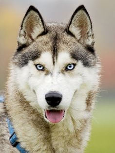 siberian-husky- PICTURES
