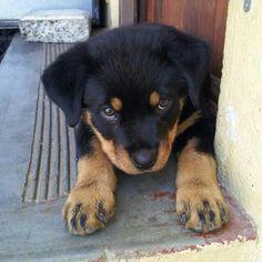 #Rottweiler pup
