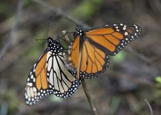 Illinois Tollway Authority working with environmentalists to boost population of monarch butterflies by planting milkweed