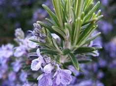 Widely popular, charming rosemary herb (Rosmarinus officinalis) is a perfect potherb to have in your home garden. The herb contains unique health-benefiting phytonutrient, rosmarinic acid. Uses For Rosemary, Rosemary Herb, Essential Oils For Headaches, Best Essential Oils, Salvia Officinalis, Potager Bio, Diy Shampoo, Frankincense Essential Oil, Medicinal Plants