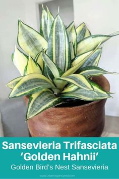 The Snake Plant or Sansevieria Trifasciata is a flowering plant that came from West Africa, which is a tropical place. Read Different Sansevieria (Snake Plant) Varieties To Identify What Types You Own Sansevieria Trifasciata, Sansevieria Plant, Succulent Names, Cacti And Succulents, Planting Succulents, Succulent Terrarium, Cactus Plants, Snake Plant Care, Inside Plants