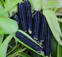 Black Corn Seed, Cereals High-Quality rare organic Vegetable Seeds non GMO early plants seeds for home garden Organic Vegetable Seeds, Organic Gardening, Vegetable Garden, Gardening Tips, Garden Seeds, Planting Seeds, Black Corn, Corn Crop, Gothic Garden