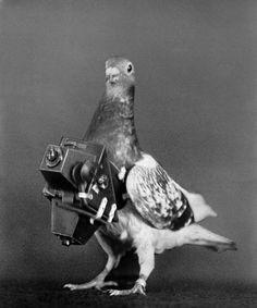 Un piccione munito di una macchina fotografica per fare indagini via aerea, Francia, 1910.