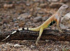 Zebra-tailed lizards are a genus of phrynosomatid lizards endemic to the southwestern United States and northwestern Mexico. Wikipedia Scientific name: Callisaurus Rank: Genus Higher classification: Phrynosomatidae