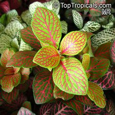 Fittonia verschaffeltii, Mosaic Plant, Nerve Plant, Painted Net Leaf  Click to see full-size image