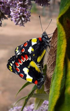 Red-spotted Jezebel (Delias aganippe)