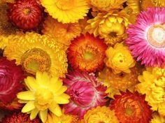 Helichrysum bracteatum 'King Size-Mischung'  Strohblumen - für den Garten der Kinder