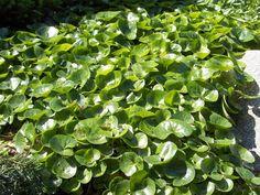 Näin valitset haudalle kestävät kasvit Herbs, Plants, Herb, Plant, Planets, Medicinal Plants