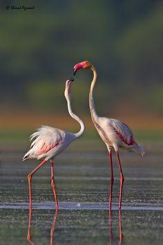 ~~The Eternal Kiss | Flamingos by Sharad Agrawal~~