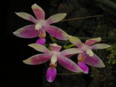 Moth-orchid: Phalaenopsis modesta - Flickr - Photo Sharing!