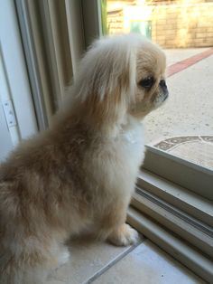 best photos, pictures and images about pekingese dog - oldest dog breeds Yorkies, Pekingese Puppies, Cute Puppies, Cute Dogs, Dogs And Puppies, Animals And Pets, Cute Animals, Saarloos, Happy Puppy
