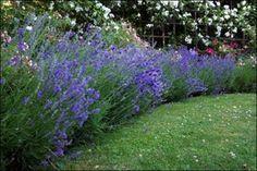 La lavanda es una estupenda hierba aromática que puede tener un papel muy importante en el diseño de cualquier jardín. A parte de sus virtudes ornamentales y aromáticas podemos valernos de ella en …