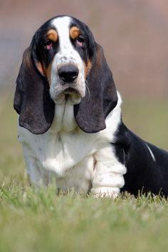 - Basset Hound. Want more? Follow:http://dogsandpupsdaily.tumblr.com/