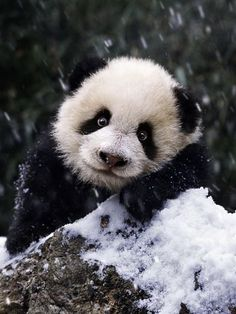 oh panda you are too cute im gonna die Cute Creatures, Beautiful Creatures, Animals Beautiful, Panda Bebe, Cute Panda, Big Panda, Image Panda, Animals And Pets, Baby Animals