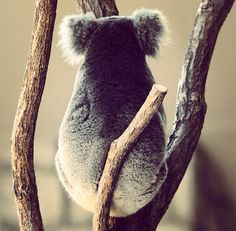 "Koala. Previous pinner wrote: ""I absolutely adore these grumpy yet cuddly cuties!"" :-)"