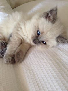 Ragdoll #kitten. #Cats