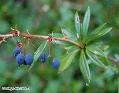 Fruto Berberis serratodentata