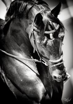 Equestrian and Horse Photographer - © Raphael Macek Photography 2013 - Raphael Macek - Photography Most Beautiful Animals, Beautiful Horses, Horse Ears, Friesian Horse, All The Pretty Horses, Horse Photos, Equine Photography, Horse Love, Dressage