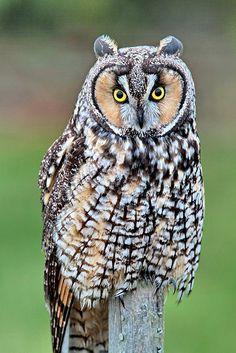 Long Eared Owl // Hibou moyen-duc -