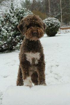 Sera lagotto ❤️ #dog