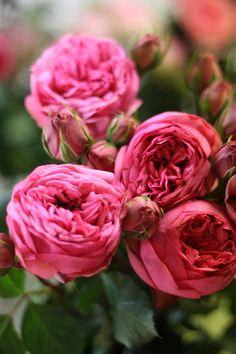 Pink Piano by Alexandra Farms  Garden Rose Varieties - offered at www.mainwholesaleflorist.com