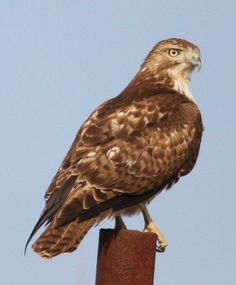 Red-tailed hawk. We see these quite frequently along pastures near where I live, especially in the fall.