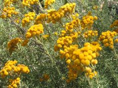 Chrysocephalum semipapposum (Clustered Everlasting) | Mallee Native Plants