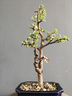 Jade Bonsai, Crassula Ovata, Jade Plants, Plant Hanger, Diy Design, Succulents, Gardening, Shapes, Decor