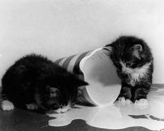 Kittens playing in spilt milk