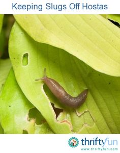 This guide is about keeping slugs off hostas. Slugs are a common pest to Hostas and can munch large holes in their leaves.To protect your hostas, especially those growing in pots, cover the soil with used coffee grounds. Not a slug in sight!