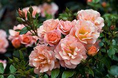 Роза флорибунда Априкола \ Rosa floribunda Aprikola С2 ( Kordes )