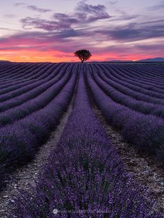 FEEL IT BURN - Lavender field in Valensole, Provence, Southern France.