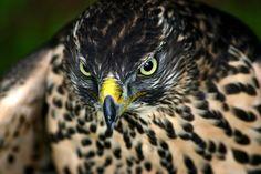 https://flic.kr/p/DYQjJA   wildwerk: Herr Bussard hat dich im Blick - http://www.wildwerk.com