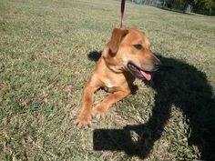 This is Dash #43. He is a young lab hound mix! A medium sized dog. He is fun and playful with lots of energy!