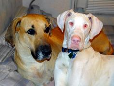 one of these danes is not like the other. via: border-wars.com #greatdane #dane #harlequin #doghealth #pde