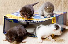 These tiny kittens have been discovered dumped in a cereal box at a bus stop in Australia. Local animal rescuers were alerted when a passer-by saw the box in question moving and heard noises. The kittens are now in foster care and have been put up for adoption