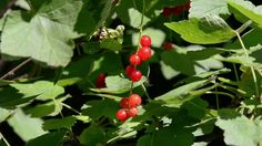 Currants, Berries, Red Currant, Wind