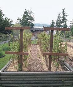 A trellis of wooden crossbars and wires supports the canes in rows and keeps the path clear