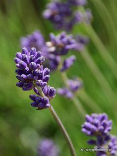 Lavendel - Kruidengeheimen hoofdpijn