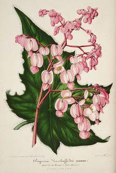 File:Begonia × verschaffeltii.jpg