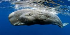 Sperm whale, cachalot - the biggest predator of the world and famous Moby Dick whale. Underwater Animals, Underwater Life, Beautiful Ocean, Animals Beautiful, Beautiful Creatures, Kinds Of Whales, Marine Archaeology, Sea Shark, Great Whale