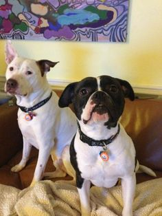 Meet WagAware Ambassadors Luigi, American Bulldog Rescue class of 2010) and his WagAware Ambassador foster sister Hannah proudly wearing their WagAware charms!  Thanks for supporting and spreading the wag about homeless and rescue dogs!