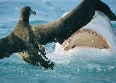 Bull shark and albatross