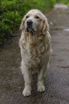 I love older dogs! I Love Dogs, Cute Dogs, All Animals Photos, Pet Shop, Hachiko, Retriever Puppy, Dogs And Puppies, Doggies, Golden Dog