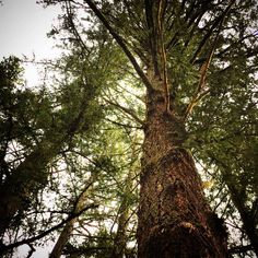 California Pine Purisima Preserve California Santa Cruz Mountains